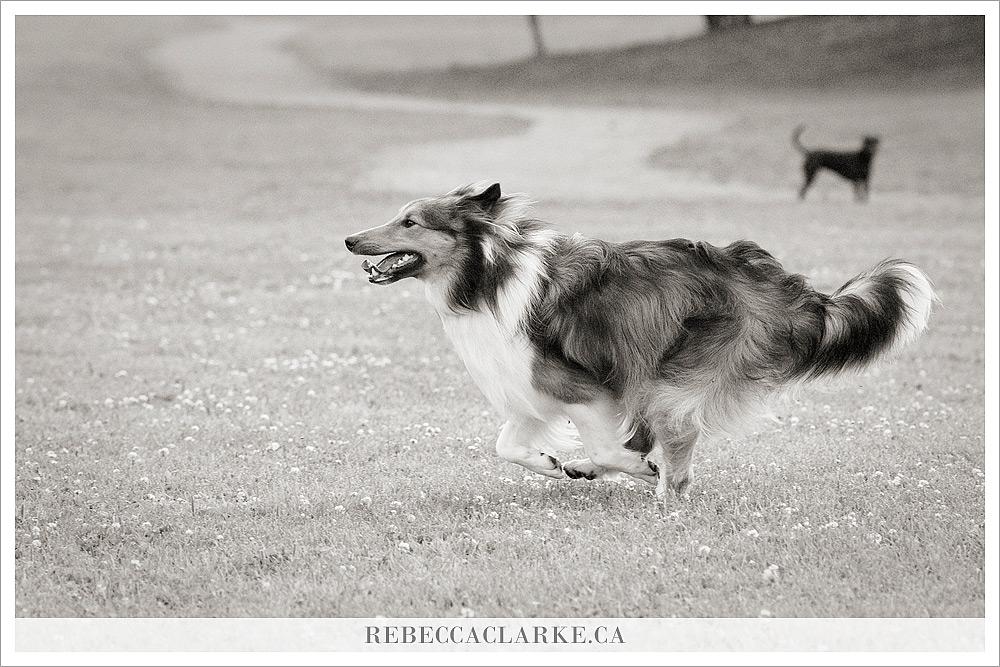 Ben Dog Sheltie Park 03