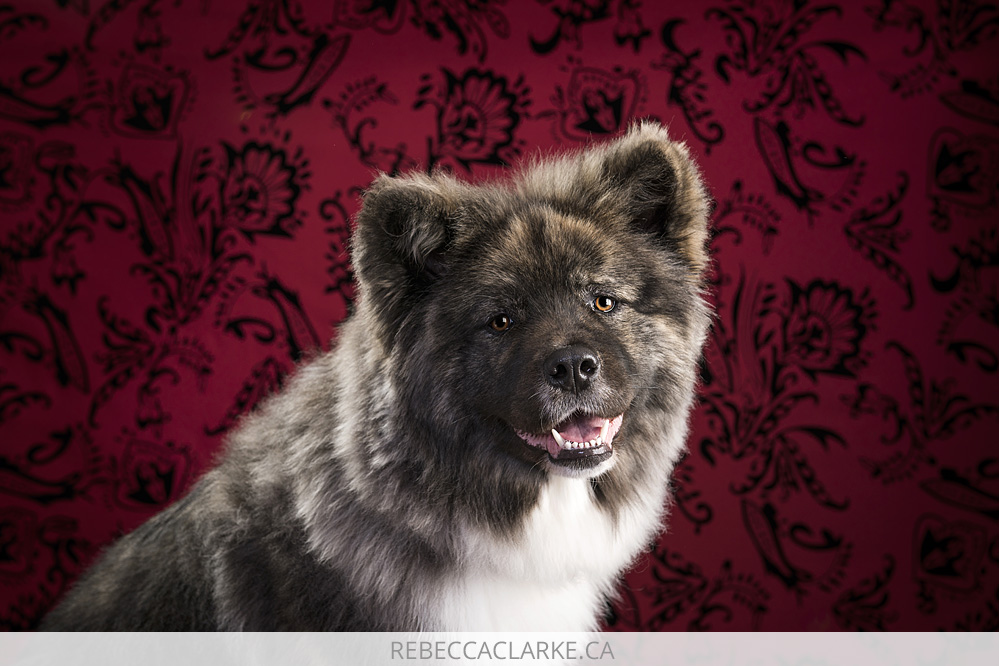 Lola, long coated Akita dog